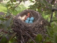 baby-robin-hatching-from-egg-1