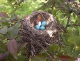 baby-robin-hatching-from-egg-2