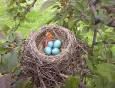 baby-robin-hatching-from-egg-4