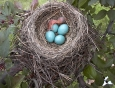 baby-robin-hatching-from-egg-5