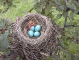 baby-robin-hatching-from-egg-6