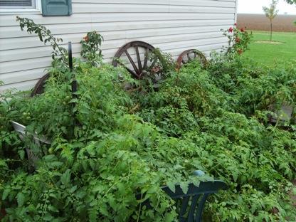 Earl Thelander's tomato plants